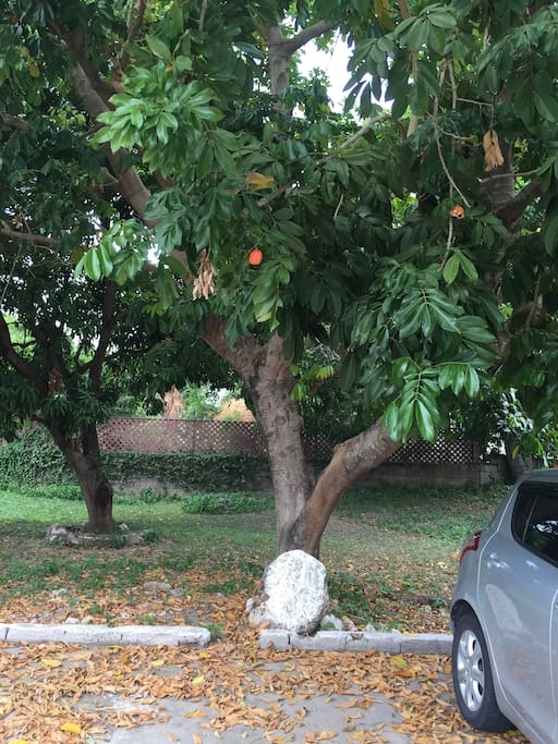 Free parking in the shade of the ackee tree.