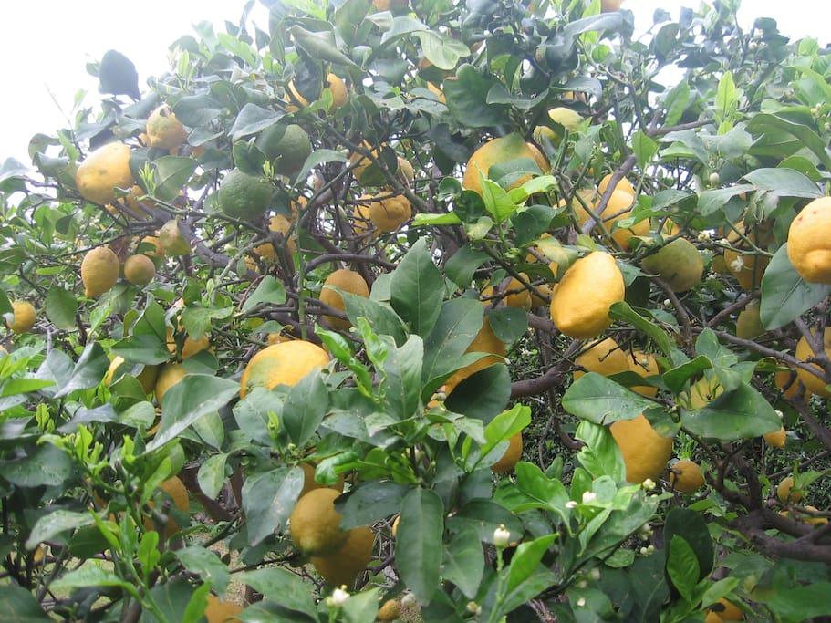 I nostri limoni