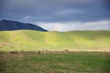 Distant cows