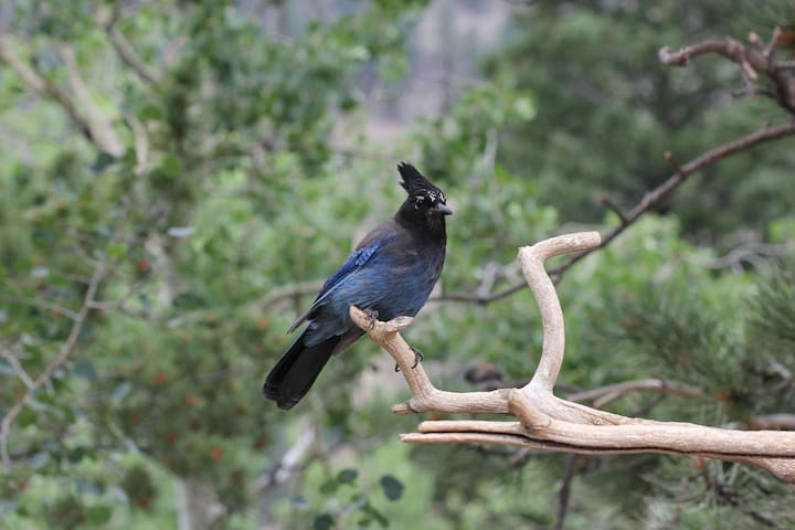 "The Steller's jay is closely related to the blue jay, but with a black head and upper body. Nature-lovers ""heart"" it here."