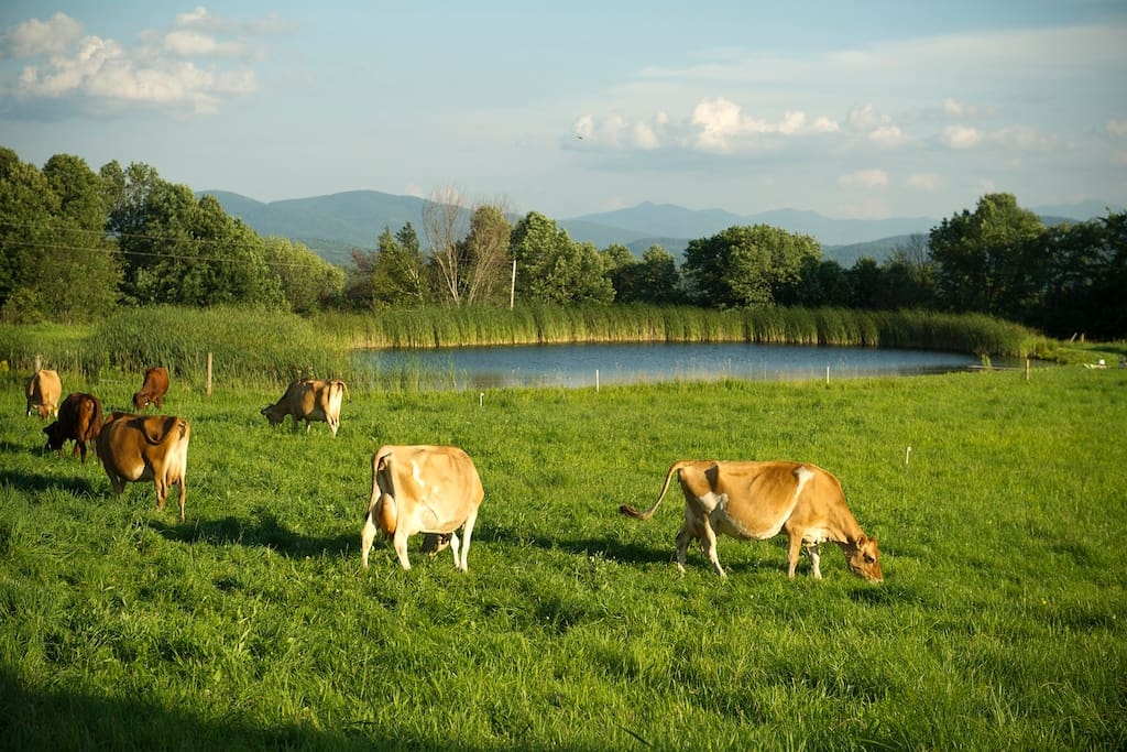 Cows grazing in front of swimming pond