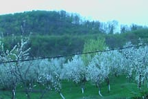 Blossomed plum trees