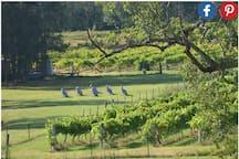 Kangaroos in the vineyard!