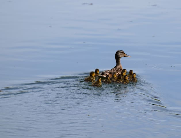 One of the many duck families.