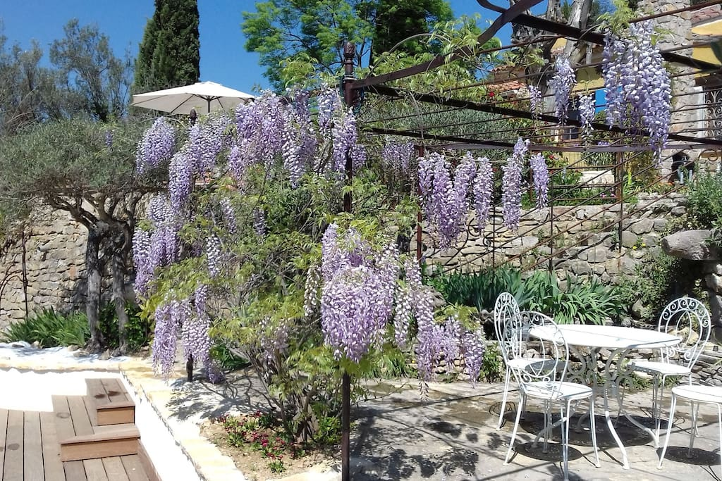 Wisteria on the Lily Pond terrace