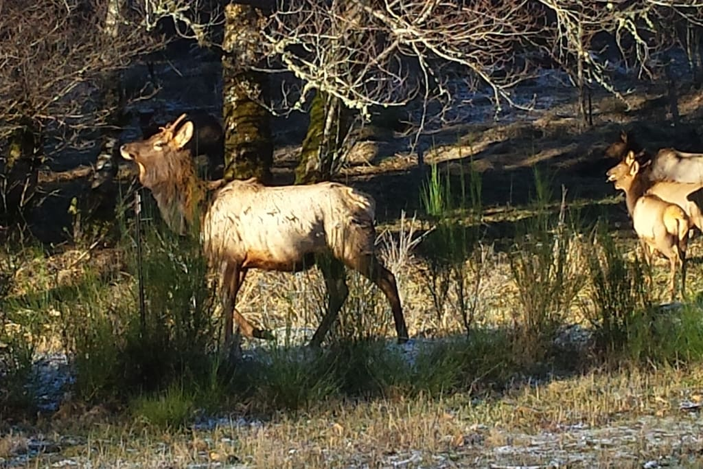 Elk are all around