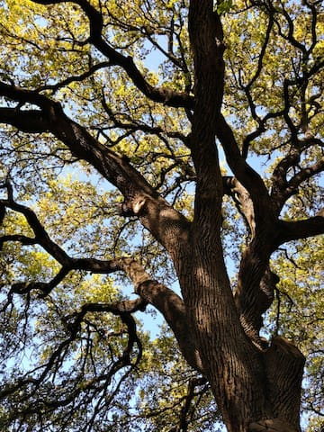 Beautiful 100-year oak trees on the property.