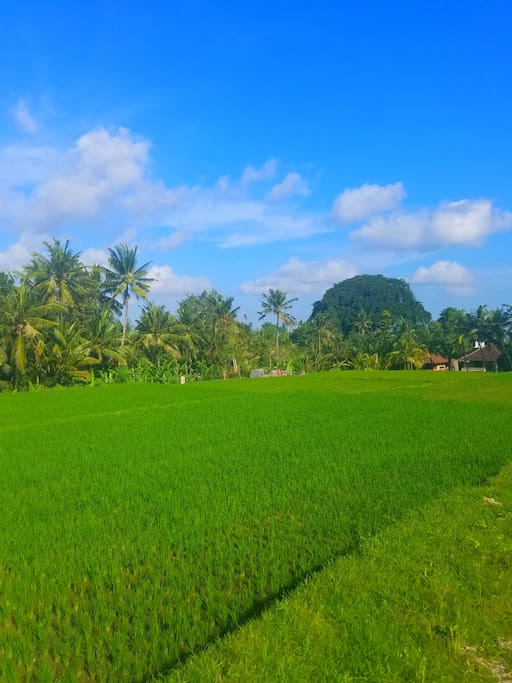 Rice Field behind the Bungalow