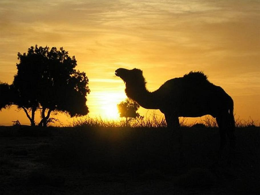 camel mhamid sunset