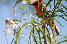 Vermillion Flycatcher...rare and wonderful sighting!  (photo by Airbnb guest)