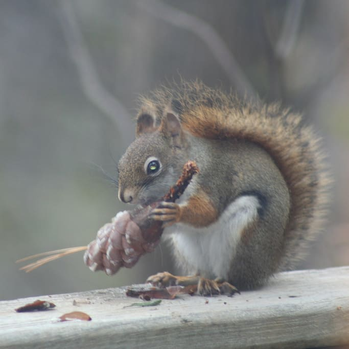 There are many squirrels at Mantorville Farms.  This one is enjoying a fresh pine cone.