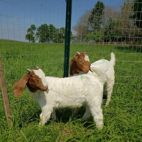 Clovis and Curly, our Boer goats