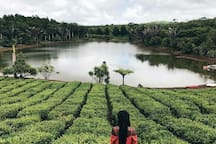 Only 5minute drive you discover the Bois Cheri tea factory  with it beautiful lake . accompany guest for a visit