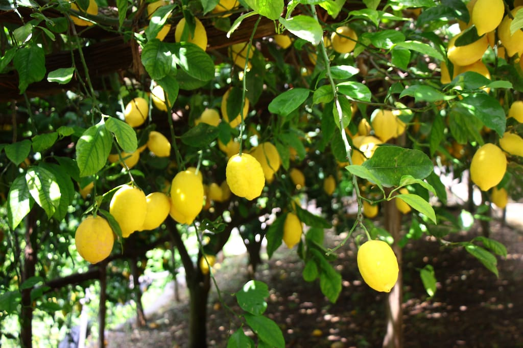 Our big and juicy lemons!