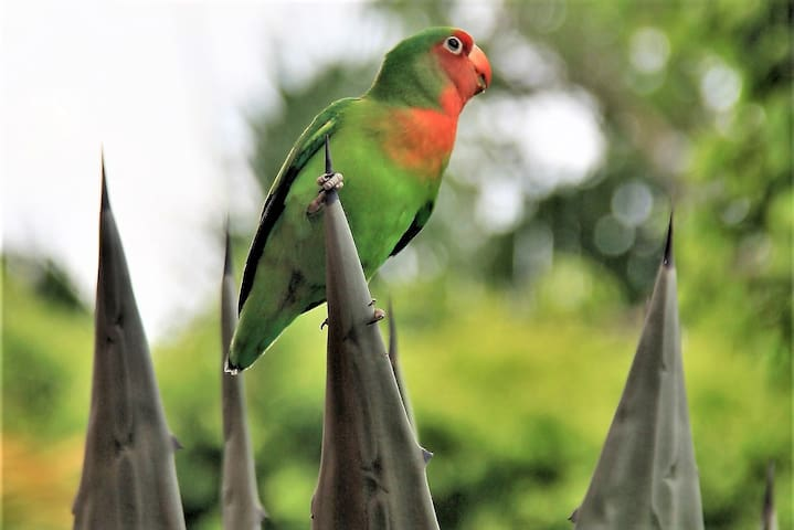 """Our free roaming love bird that we call """"Houdini"""". He/she escaped from cage but comes back to visit us daily"""