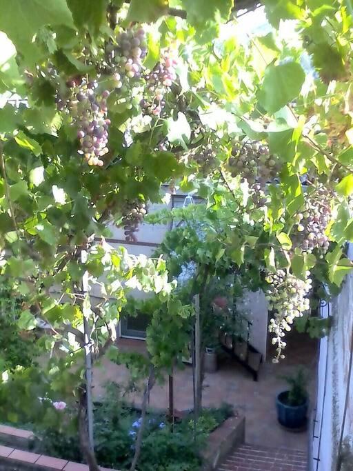 vigne grimpante au mois de Juillet