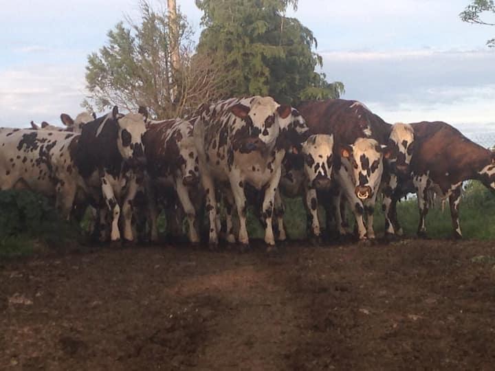 Bienvenue dans la ferme des vaches Normandes