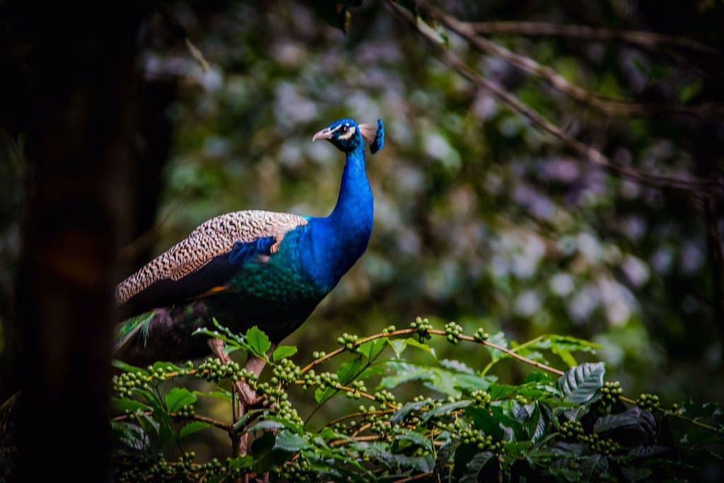 You might find an unsuspecting peacock strutting along, eager to be admired