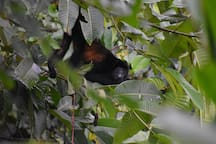 Cute Howler Monkey peeking out from the leaves.