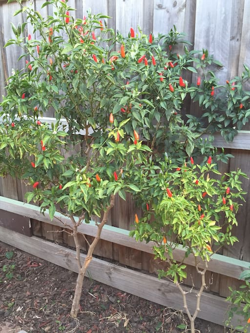Chillis are on the tree most of the year to pick fresh!
