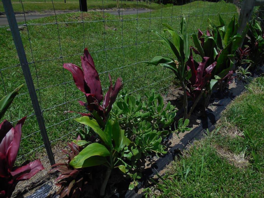 Beautiful Hawaiian red and green Ti plant hedge.