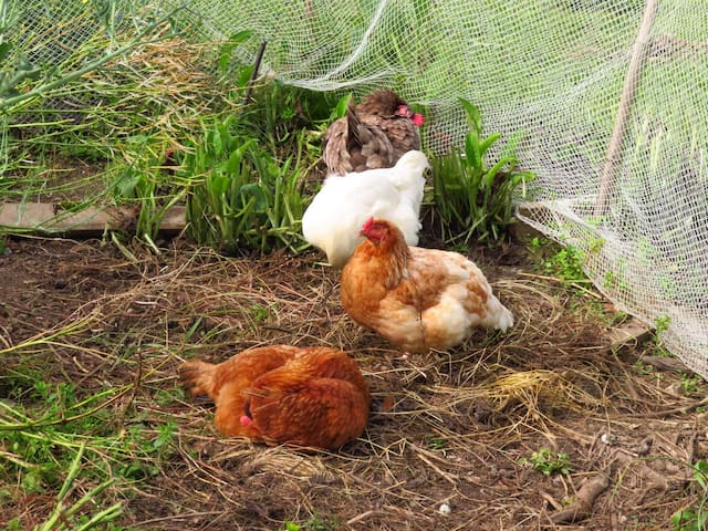 A few of our chickens