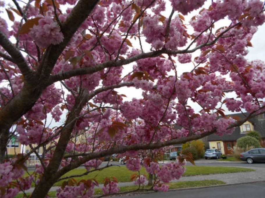 Cherry blossoms in abundance to welcome you to the area!