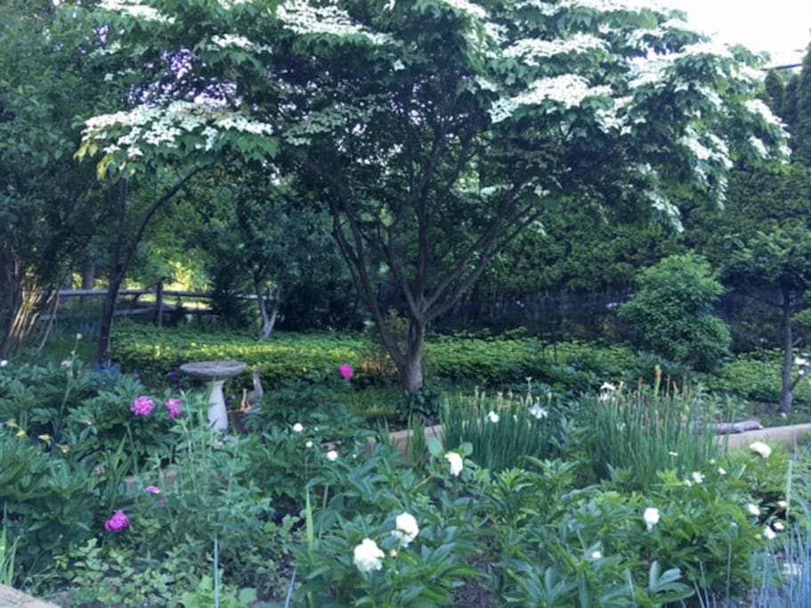 Our garden..lots of peonies and dahlias 6/16