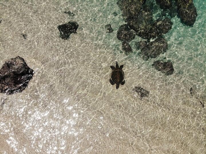 Honu or Green Sea Turtle