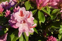 Rhododendrons are beautiful in spring!