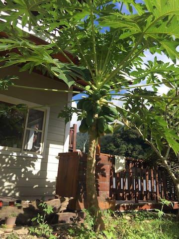 自然生長的木瓜樹