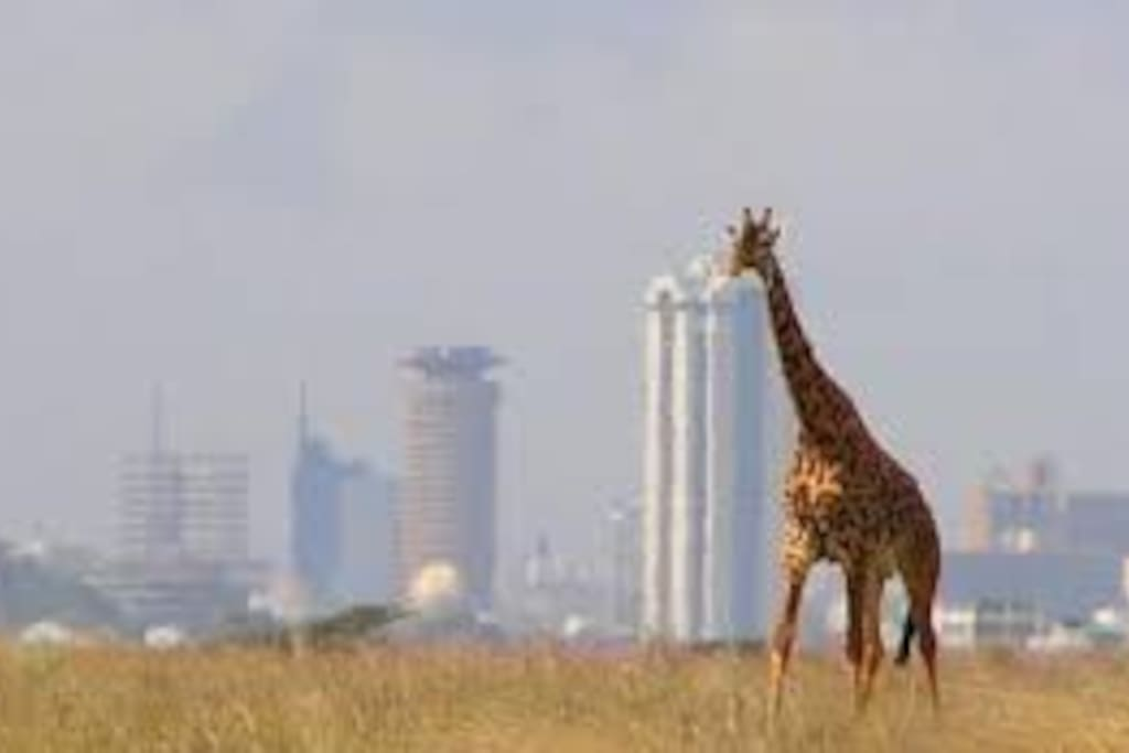 Nairobi is the only city in the world attached to a national park. It is only 20 mins drive away.