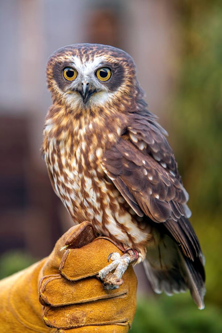 Little Ruru - Boobooks Owl