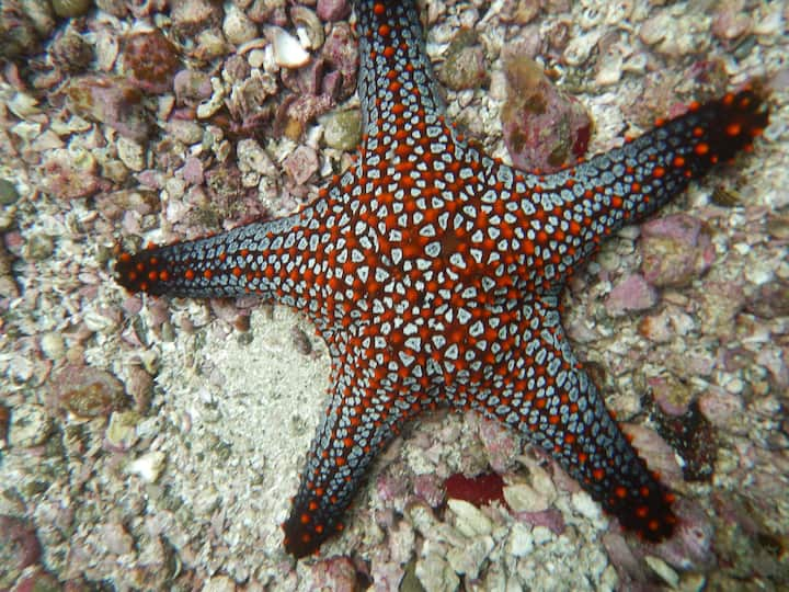 Cushion Starfish at the Catalinas