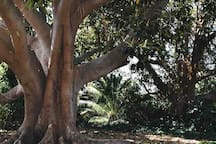 Two beautiful Morton Bay Fig trees line the backyard