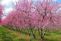 Peach orchard at Anne Springs Close Greenway