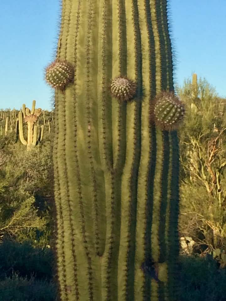Three little nubs on a saguaro