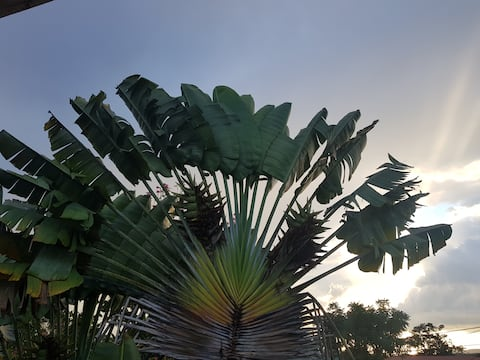 Travelers Palm Green