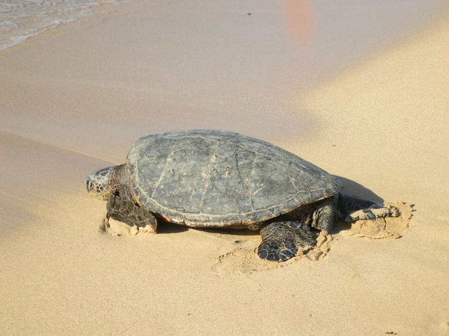 Frequent visitor to Poipu Beach