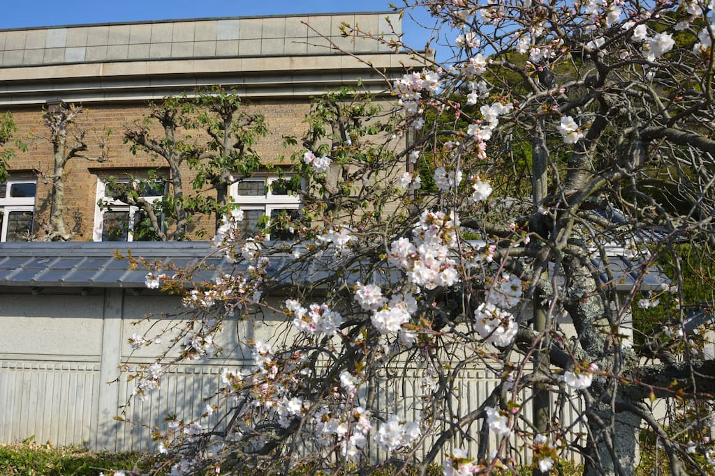 In early April we have weeping cherry tree welcome you at the gateway
