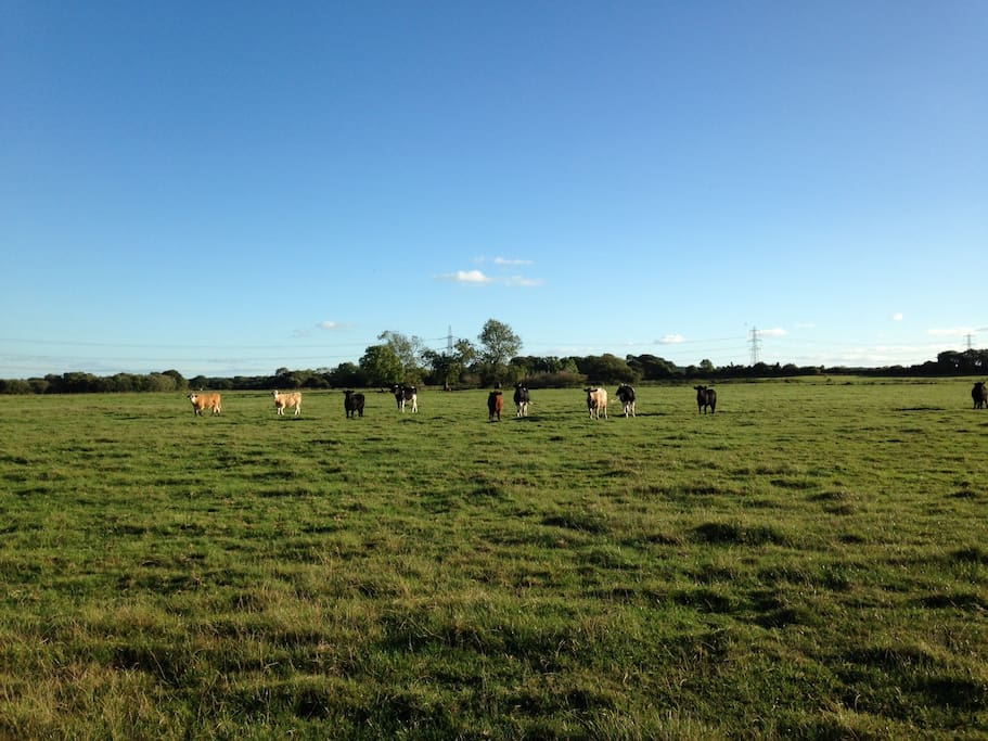 Cattle in the meadows - just a few minutes walk