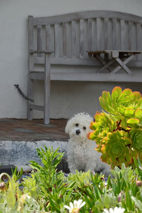 Jessie, our Miniature Maltese posing in front of Room 4