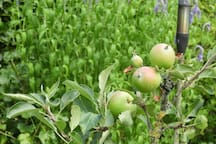 Onze eigen appelboom