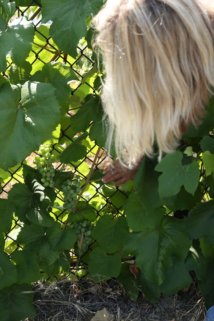 Neighborhood fence grapes