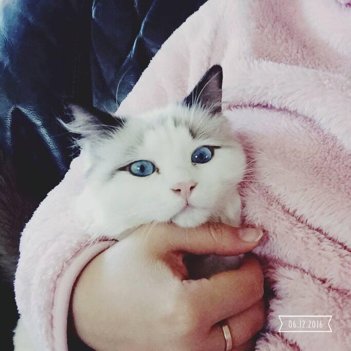 Super adorable ragdoll kitten