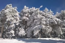 Pinar de montaña de Braojos en Invierno