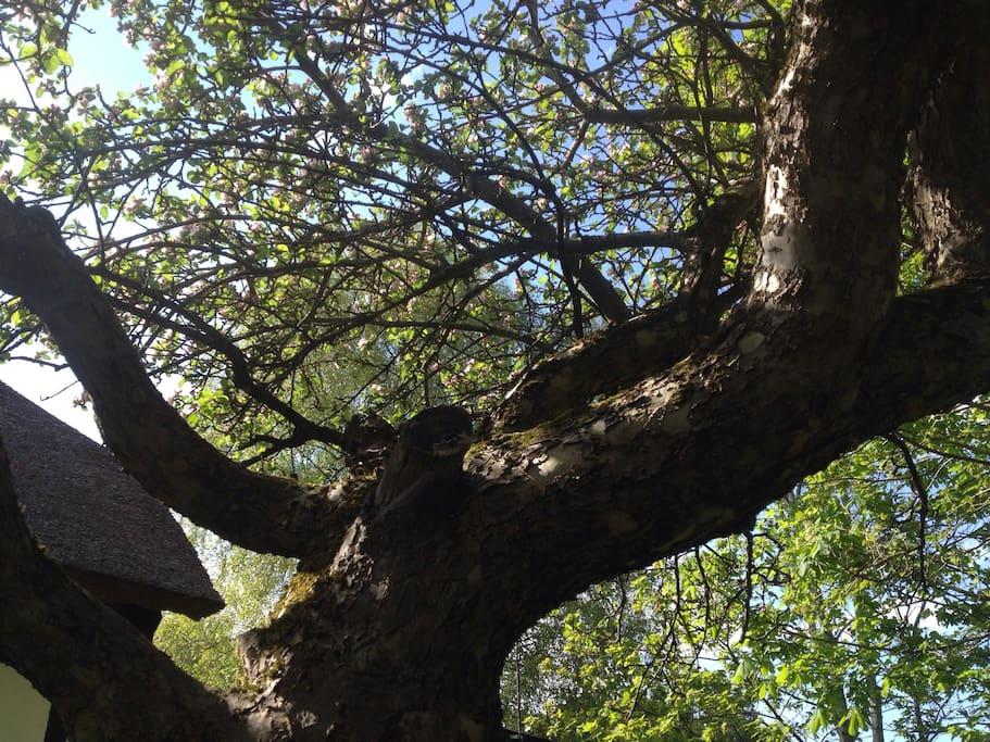 Store, gamle æbletræer med perfekt skygge i sommervarmen og lækre sommeræbler fra august