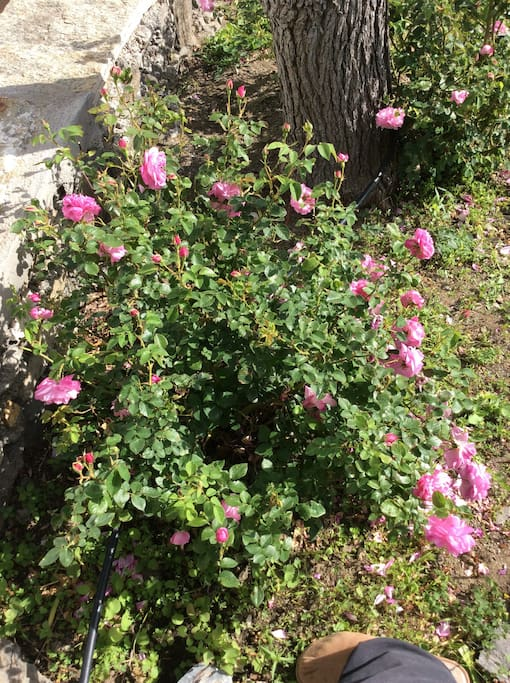 Icarian Roses with a hundred sheets