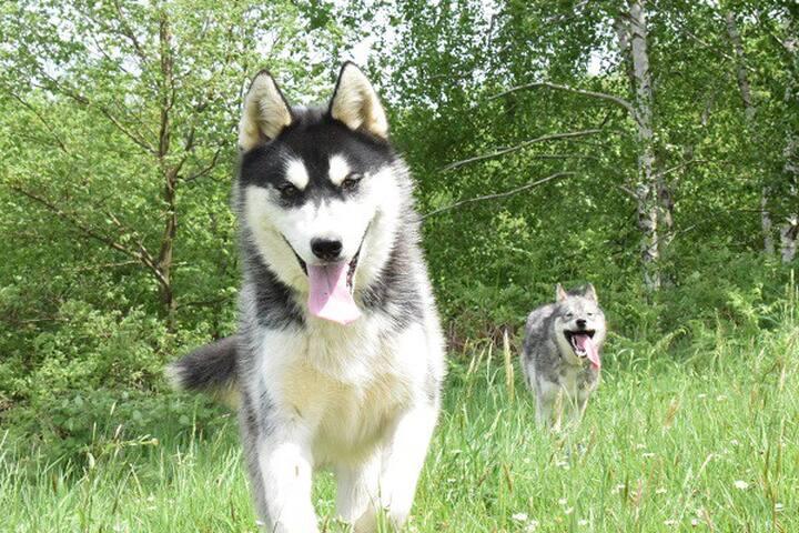 Nos activités chiens de traîneau