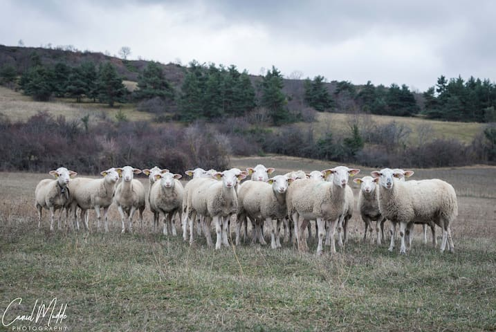 A sheep cattle behind the house